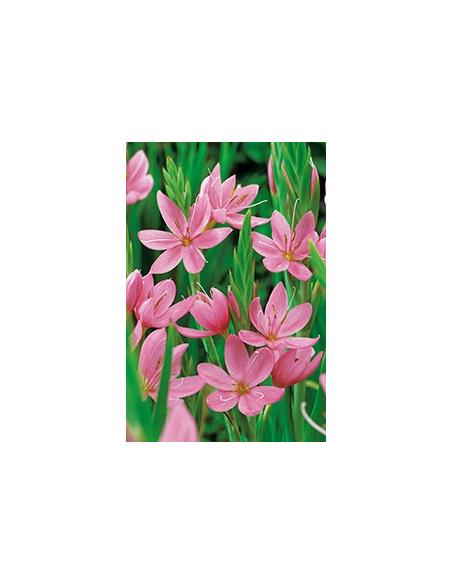 Schizosylis coccinea roze