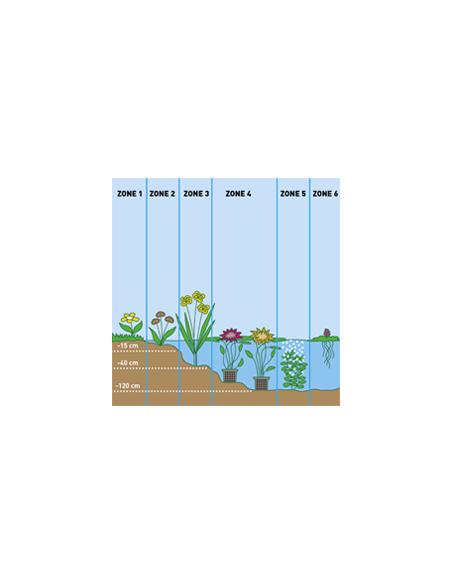 Pontederia cordata 18x18cm