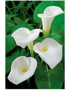 Zantedeschia aethiopica 18x18cm