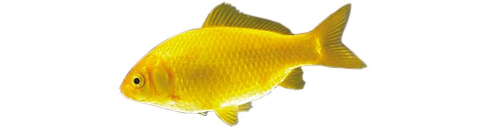 Vissen vijverspeciaalzaak wesdijk for Vissen vijver